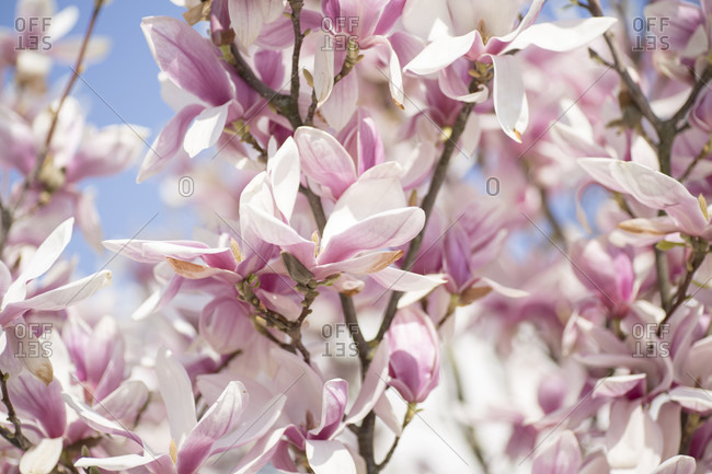 Flowers of magnolia. In full bloom.