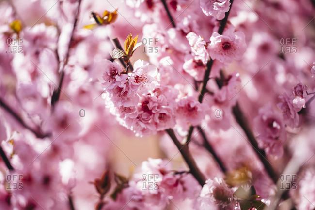 Ornamental shrub, cherry blossom. In full bloom.