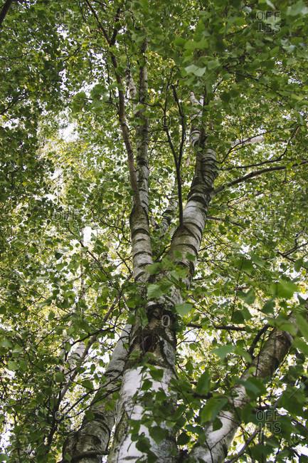 Birch, treetop, from below. Wide detailed shot.
