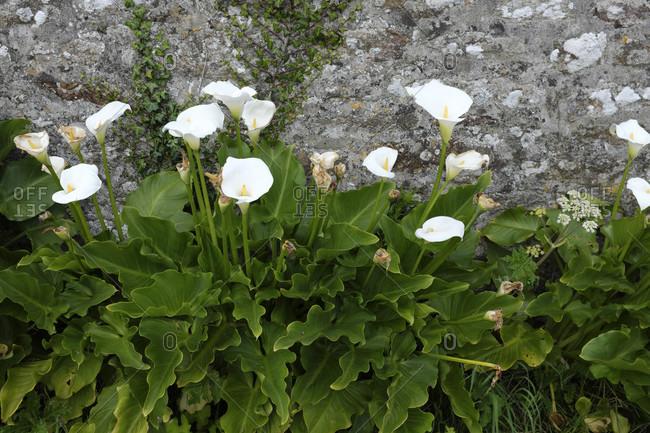 France, vegetation, flowering callas. Detailed shot.