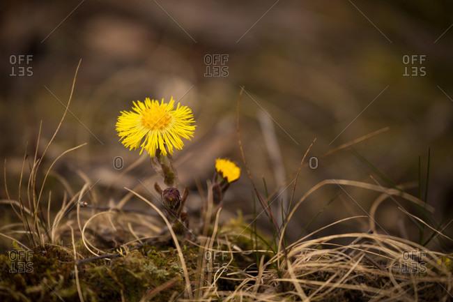 Coltsfoot, tussilago farfara, springtime, finland