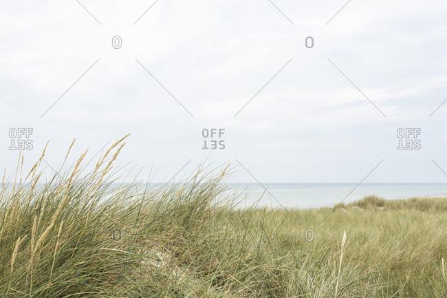 Beach grass in the dunes