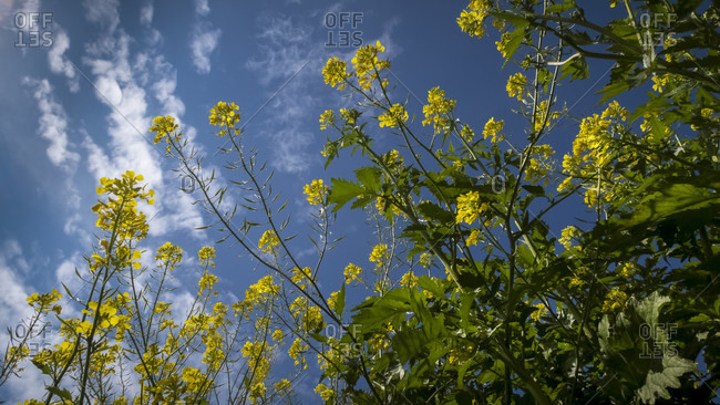 Rapeseed flowers in spring at coursan