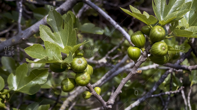 Fig fruits in spring at coursan