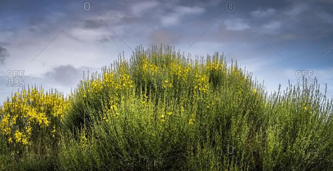 Flowering gorse at vinassan in spring