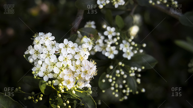 Flowering hawthorn in spring at vinassan