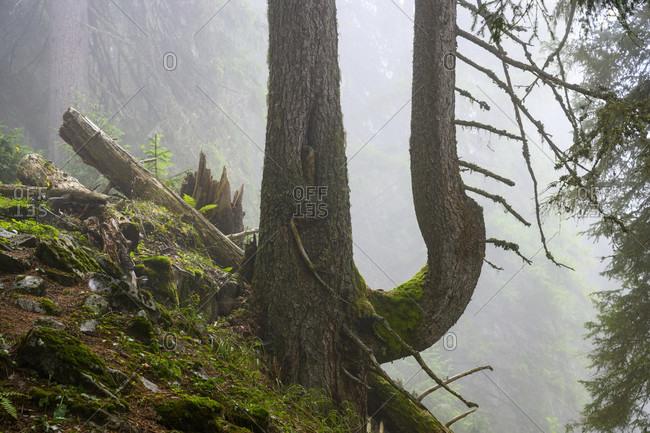 Austria, montafon, double-stemmed spruce near Partanen.