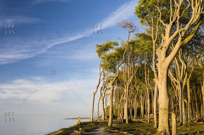 Ghost forest of nienhagen, mecklenburg-west pomerania, germany