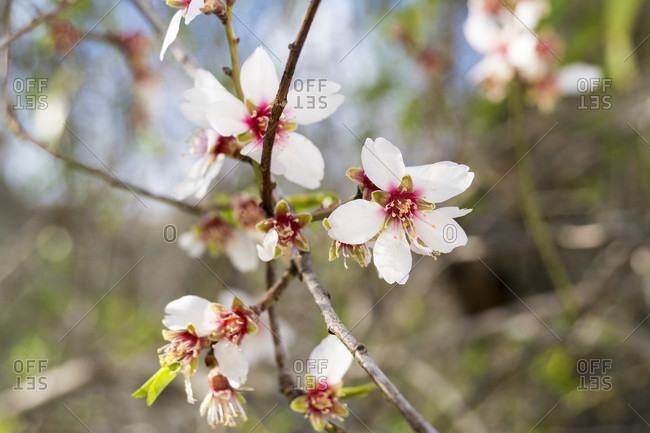 Spain, Granada, sacromonte, historic district, tree blossom