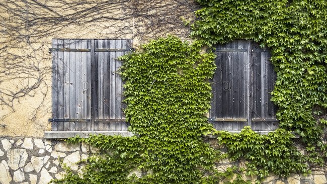 Wall covered with ivy in spring at coursan