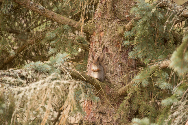 Eurasian red squirrel (sciurus vulgaris), spruce branches, finland