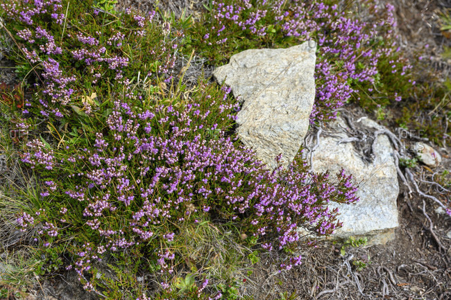 Austria, montafon, heather (calluna vulgaris), also called heather.