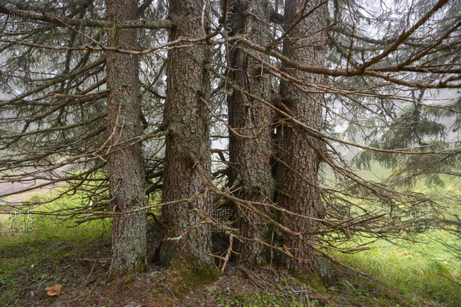 Austria, montafon, partenen, group of trees on wiegensee.