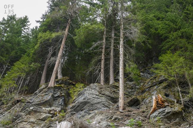 Austria, montafon, mountain forest on a steep slope.