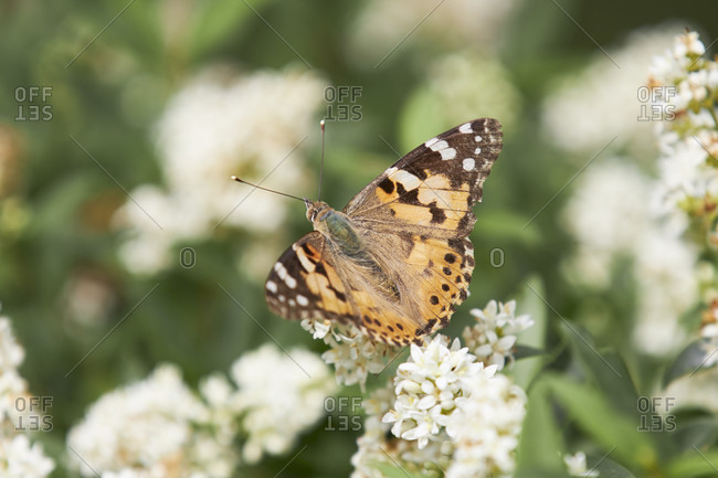 Painted lady, vanessa cardui. Photo from the offset collection.