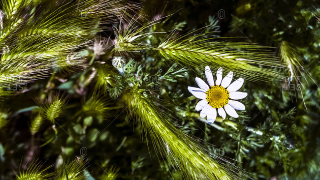 Marguerite and ears of grass at coursan in spring.