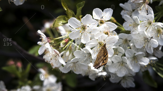 Sour cherry blossoms and butterflies in spring at vinassan