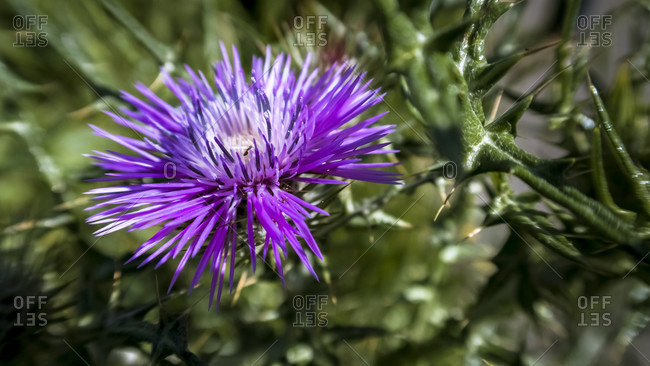 Spring thistle at vinassan. Photo from the offset collection.