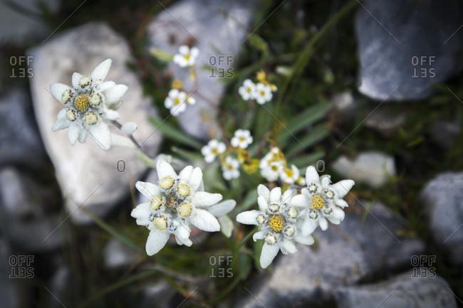 Edelweiss (leontopodium alpinum) in bloom, dolomites, north italy, europe