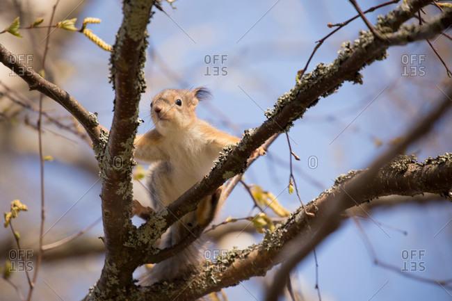 European red squirrel, sciurus vulgaris cub on birch tree branch