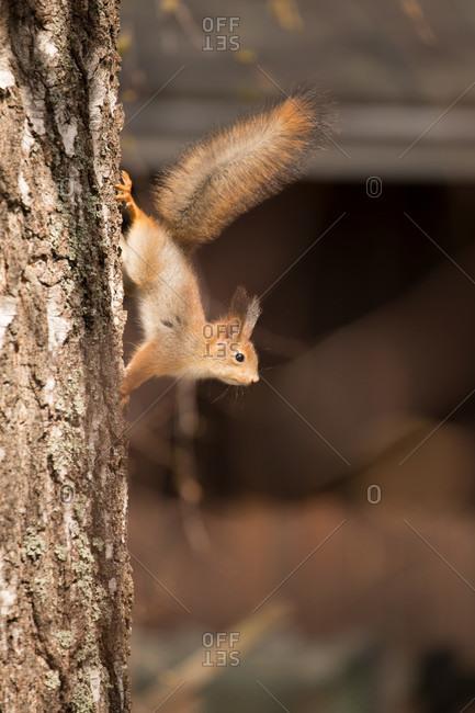 Young red squirrel (sciurus vulgaris), birch tree trunk, springtime, Finland