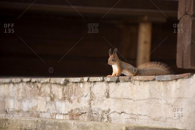 Eurasian red squirrel (sciurus vulgaris) baby on the veranda, springtime, Finland