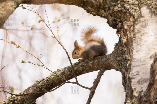 Red squirrel (sciurus vulgaris) baby on birch tree branch, springtime, Finland