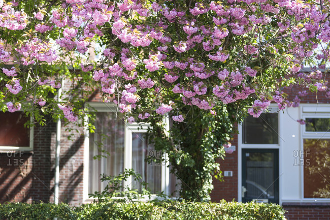 Flowering tree in the front yard of dutch houses, groningen, netherlands