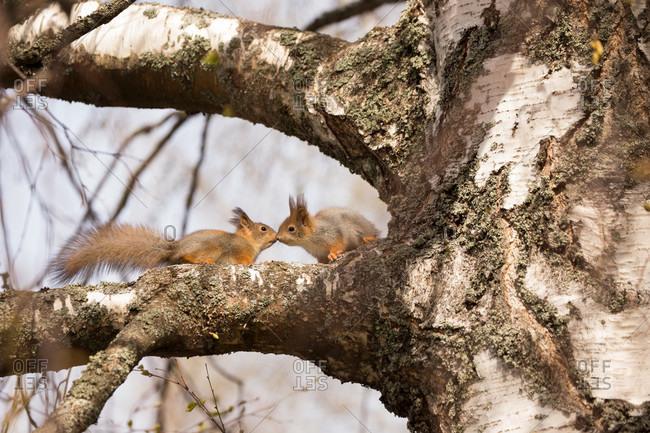 Eurasian red squirrel (sciurus vulgaris) babies on birch tree branch, springtime, Finland