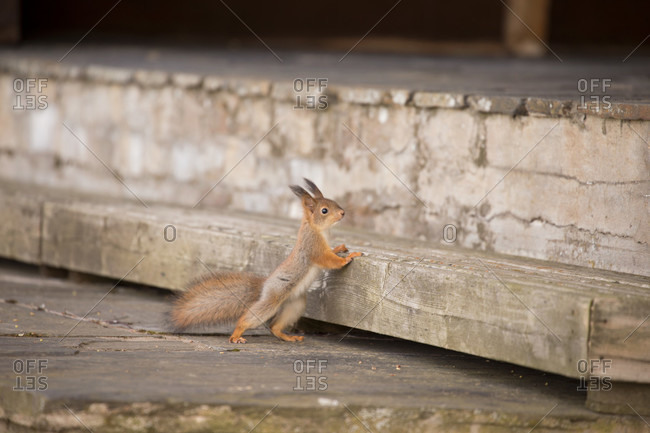 Eurasian red squirrel (sciurus vulgaris) baby stands against the stairs, springtime, Finland