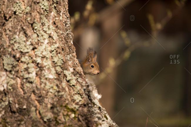 Eurasian red squirrel (sciurus vulgaris) baby peek behind birch tree, springtime, Finland