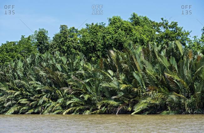 Nipa palm forest on the riverside, kinabatangan river plain, sabah, borneo, malaysia