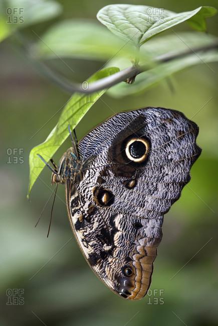 Banana butterfly (caligo sp.), family of noble butterflies (nymphalidae), mindo region, ecuador