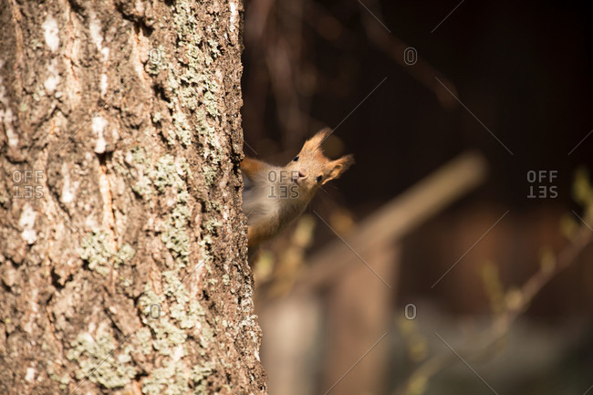 Eurasian red squirrel (sciurus vulgaris) baby peek behind the birch trunk, springtime, Finland