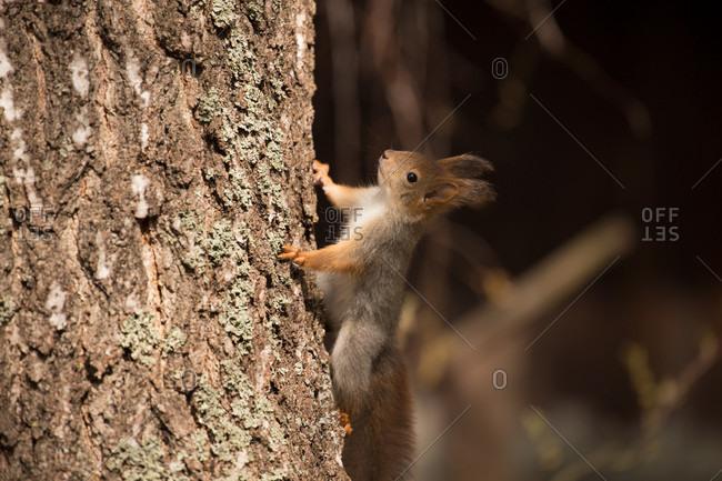 Eurasian red squirrel (sciurus vulgaris) baby climbs up the birch trunk, springtime, Finland