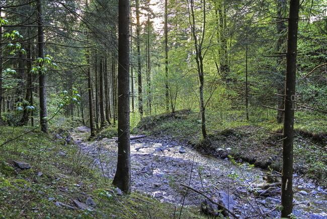 Forest area with mountain stream, hohenschwangau, romantic road, ostealgia, algae, swabia, bavaria, Germany