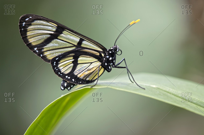 Neotropic glass-wing butterfly, methona confusa, family of noble butterflies (nymphalidae), mindo region, ecuador