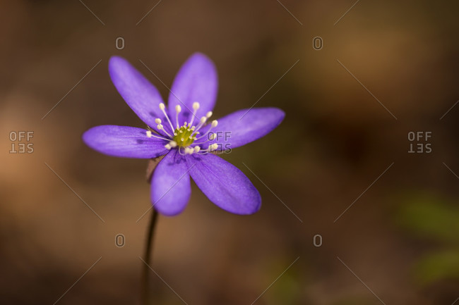Close-up of anemone hepatica (common hepatica, liverwort, kidneywort, pennywort), dark nature background, springtime, Finland