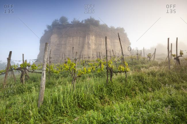 Rows of vines among the balze of the valdarno, terranuova bracciolini, arezzo, tuscany, italy