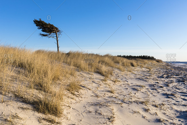 Beach and solitary pine on the dark peninsula, west strand, darer ort, mecklenburg-west pomerania, Germany