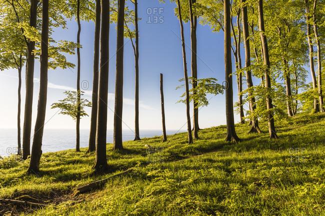 Beech forest on the coast in the jasmund national park, ruegen island, mecklenburg-west pomerania, Germany
