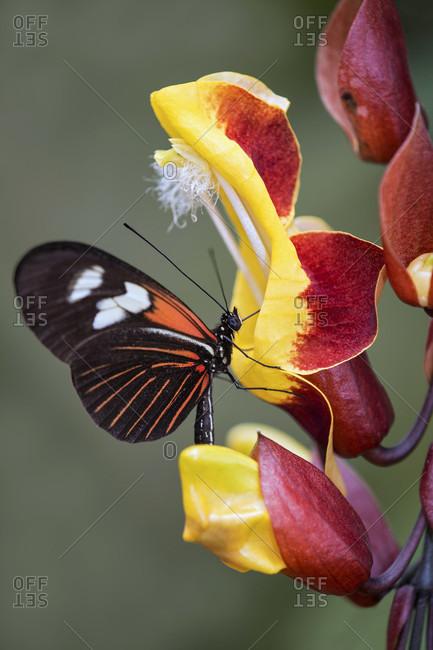 Neotropical butterfly heliconius doris drinks nectar from a flower, edelfalter (nymphalidae) family, mindo region, ecuador