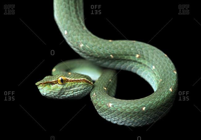 Venomous pit viper, tropidolaemus subannulatus, viper family (viperidae), danum valley conservation area, sabah, borneo, malaysia