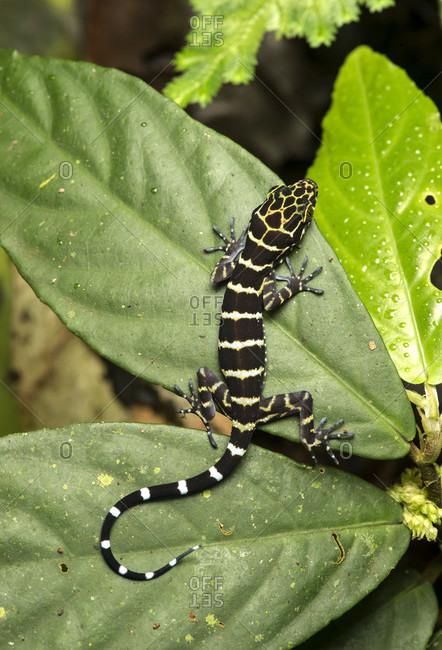 Bent-toed gecko (cyrtodactylus consobrinus), gekkonidae famiie, gunung mulu national park, unesco world heritage site, sarawak, borneo, malaysia