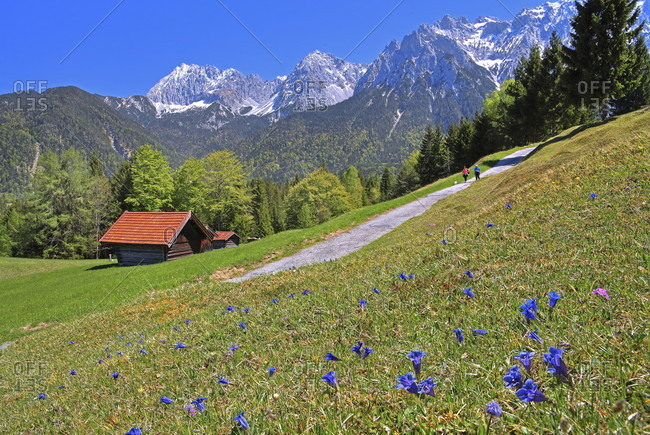 Spring meadow with blooming gentian and hiking trail against karwendel mountains, mittenwald, werdenfelser land, upper bavaria, bavaria, Germany