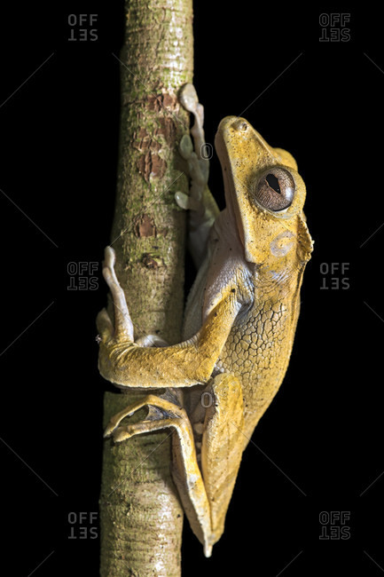 File-eared tree frog (polypedates otilophus), rhacophoridae family, an endemic frog species in borneo, danum valley conservation area, sabah, borneo, malaysia