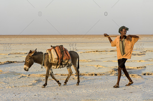November 13, 2017: an afar shepherd with a donkey that transports salt blocks, assale salt lake (lake assale), danakil depression, afar region, ethiopia