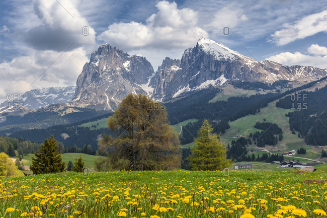 Alpe di siusiseiser alm, blooming meadows in spring with sassolungo / langkofel and the sassopiatto / plattkofel in the background, dolomites, kastelruth, south tyrol, italy