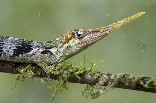 Male of the pinocchio anole (anolis proboscis) with a distinctive trunk-like extension (proboscis), an endemic lizard species that only occurs on the western mountain slopes of the andes in ecuador, family of the mule lizards (dactyloidae), mindo, ecuador