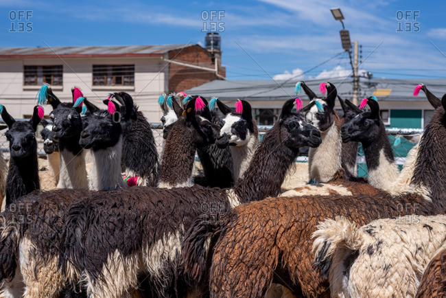 Close up of a bunch of Bolivian llamas on a street market in Potosi